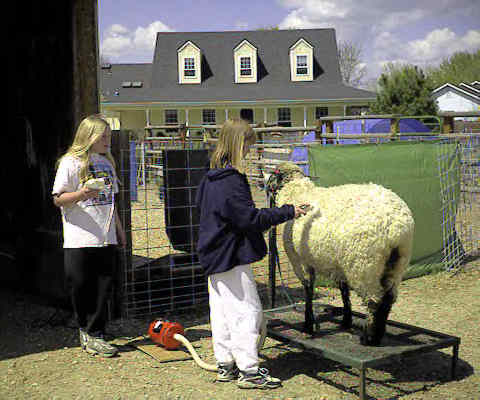 4-H kids washing and drying ewe for show