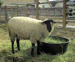 lucky ewe
