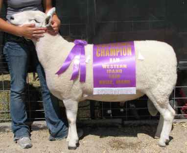 My Western Idaho Fair 2008 Supreme Champion Cheviot Ram
