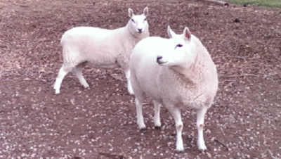 Cheviot ewes for sale