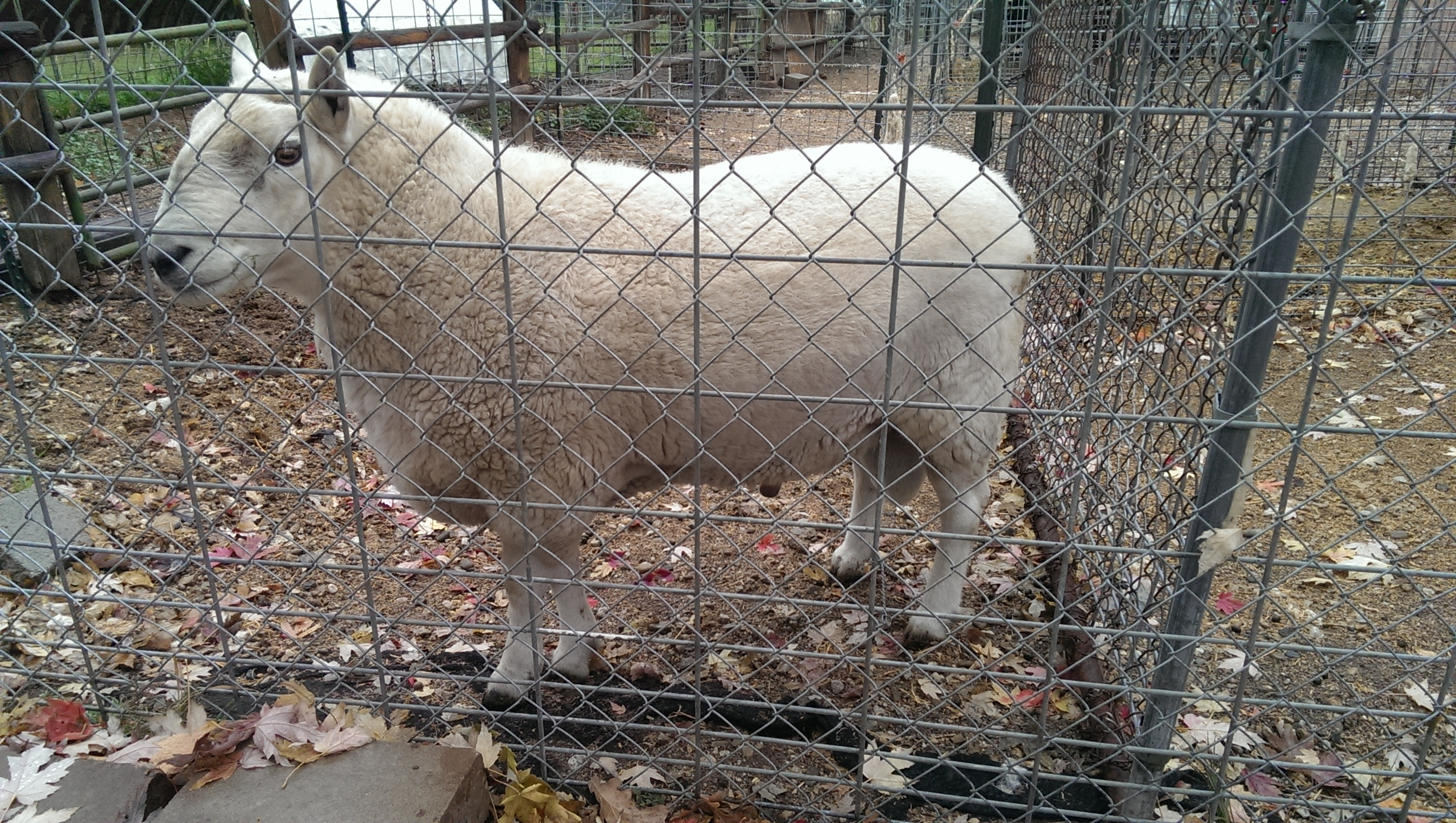 Cheviot ram for sale